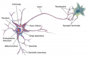 design-principles-explain-neuron-anatomy