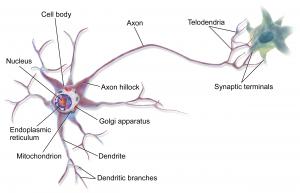 design-principles-explain-neuron-anatomy