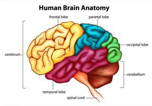 differences-in-human-and-neanderthal-brains