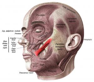 headanatomy