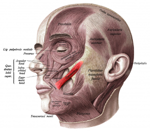 headanatomy