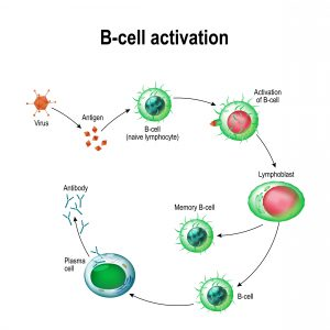 silenced-b-cells-loudly-proclaim-case-for-creator